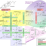 Steroid-Biosynthese