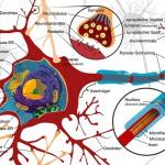 Neuron-autonome Neuropathie
