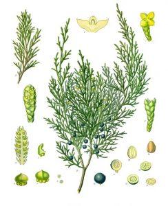 Wacholder-Juniperus_sabina_-_Köhler–s_Medizinal-Pflanzen-212