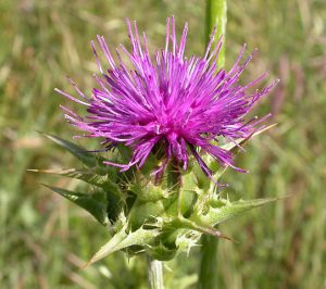 """""""Silybum marianum 2003-04-07"""" von Copyright by Curtis Clark, licensed as noted - Photography by Curtis Clark. Lizenziert unter CC BY-SA 2.5 über Wikimedia Commons - https://commons.wikimedia.org/wiki/File:Silybum_marianum_2003-04-07.jpg#/media/File:Silybum_marianum_2003-04-07.jpg"""