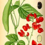 feuerbohne-phaseolus-coccineus-lat