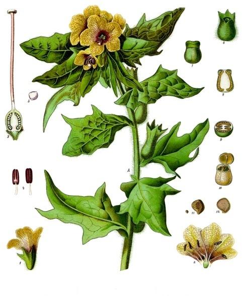 Schwarzes Bilsenkraut - Hyoscyamus Niger