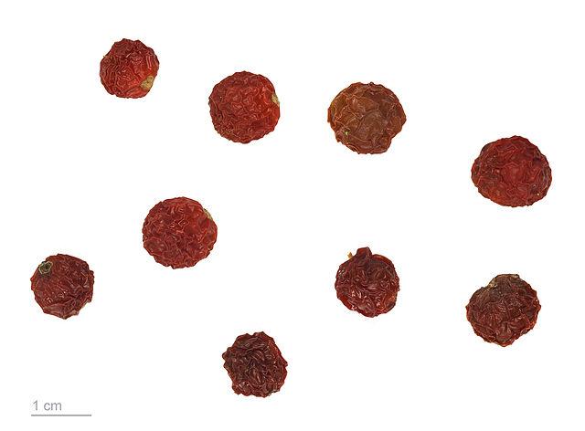 Solanum pseudocapsicum L