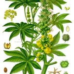 ricinus_communis_-_koehler-s_medizinal-pflanzen-257