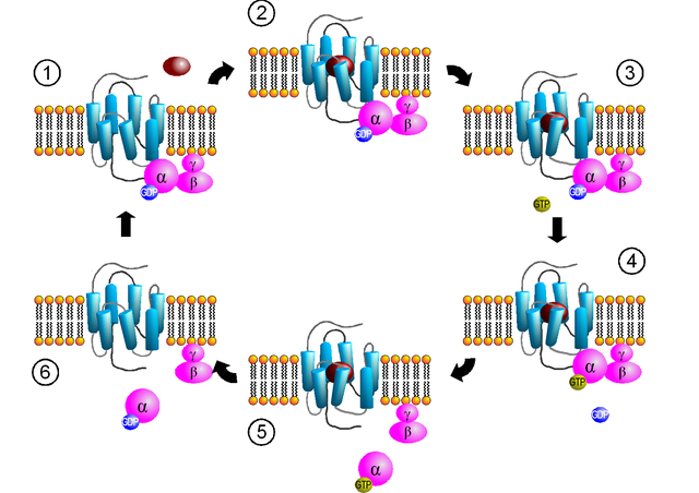 Aktivierung G-Protein-gekoppelter Rezeptoren
