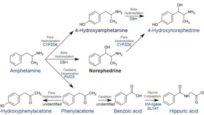 Amphetamin-Norephedrin-Metabolismus