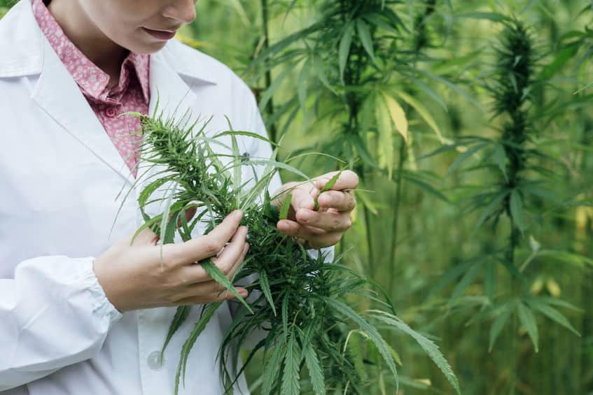 kontrollierter Anbau Cannabis